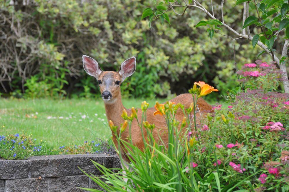 Srna v zahradě