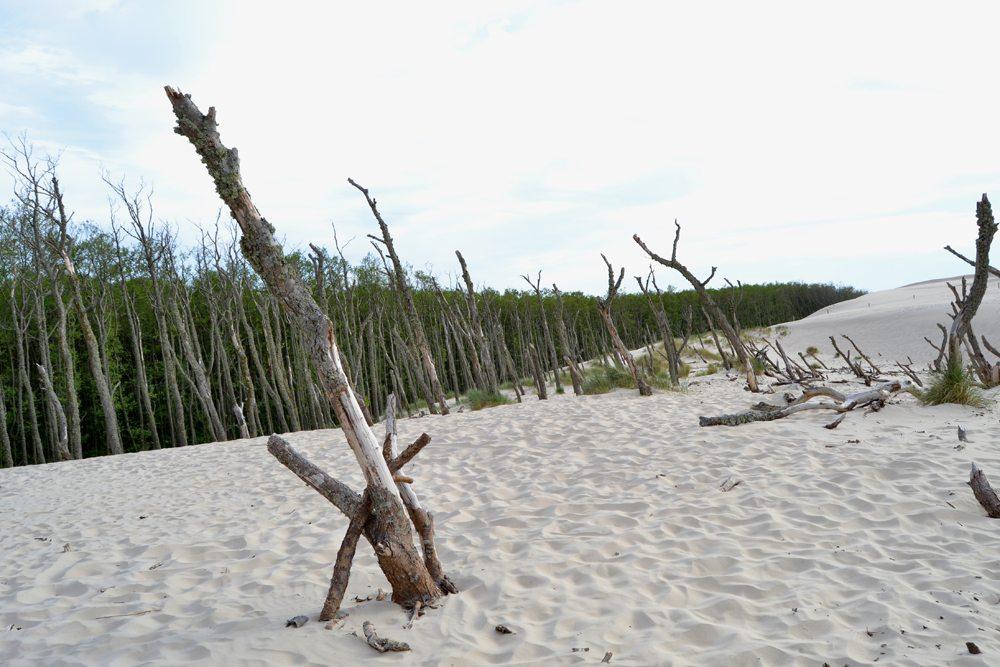 Les ustupující písečným dunám na severu Polska.