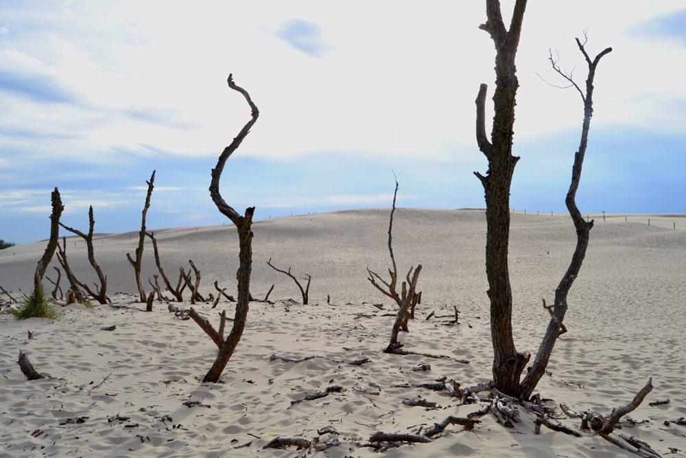 Zbytky stromů v písečných dunách.