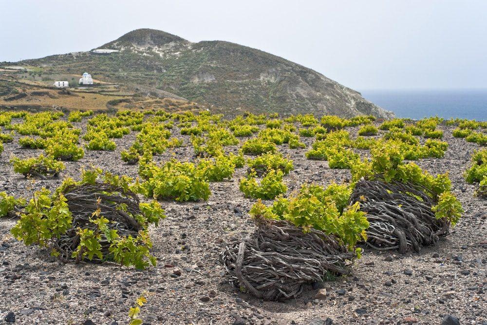 Vinice na Santorini