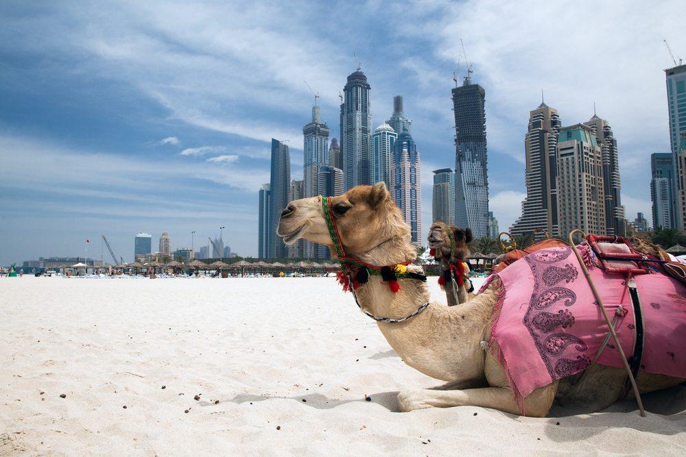Velbloud na pláži v Dubaji