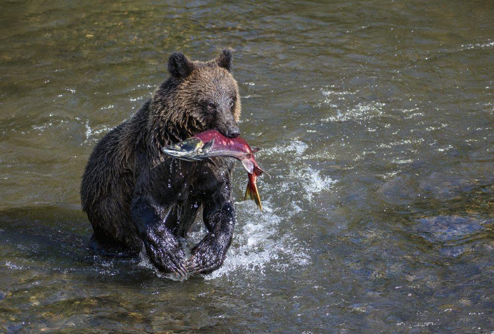 Medvěd hnědý lovící lososa.