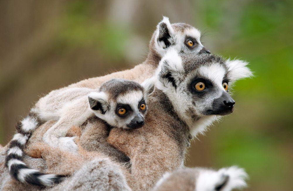 Lemuří samice s mláďaty, Madagaskar.