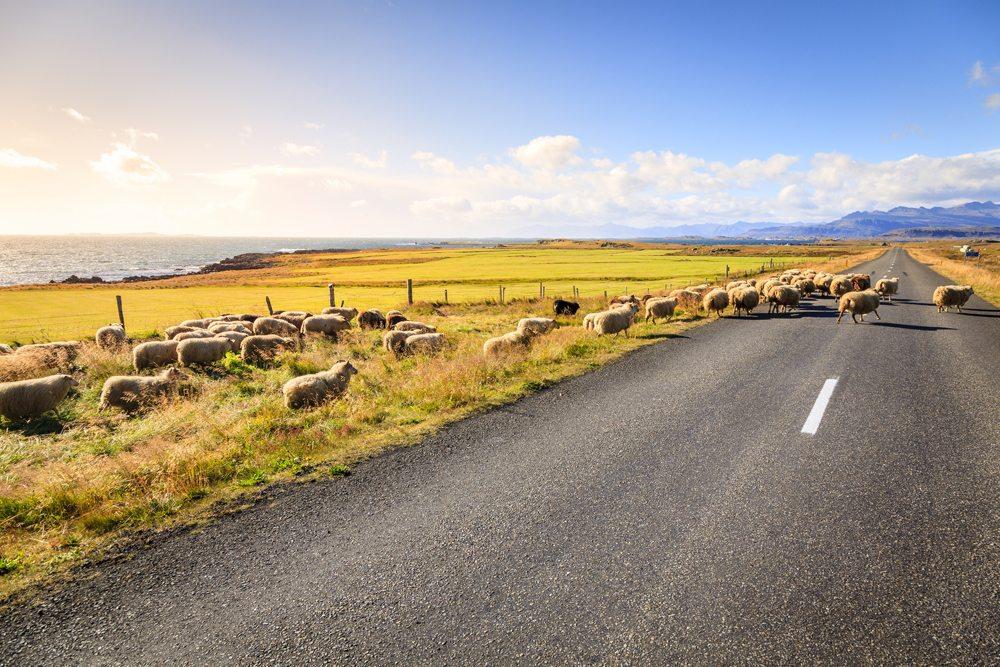 Ovce utíkající na Islandu přes ulici.