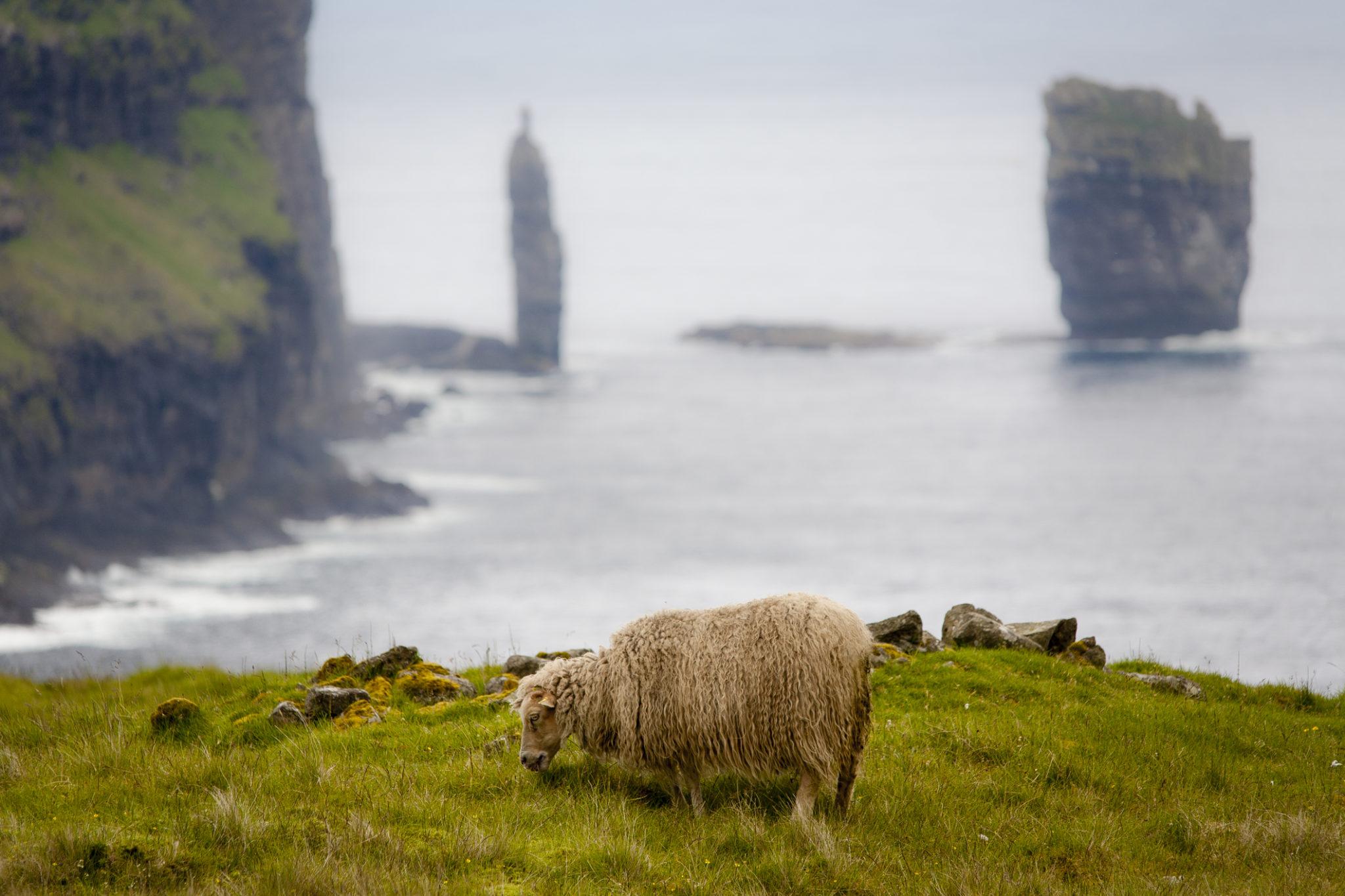 Ovce na Faerských Ostrovech