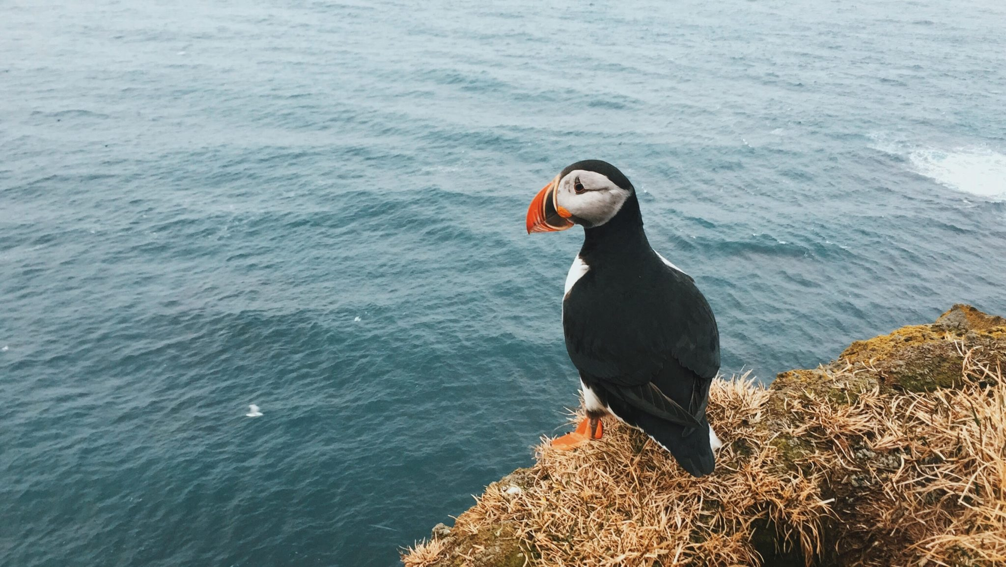 Papuchalk na Faorských ostrovech