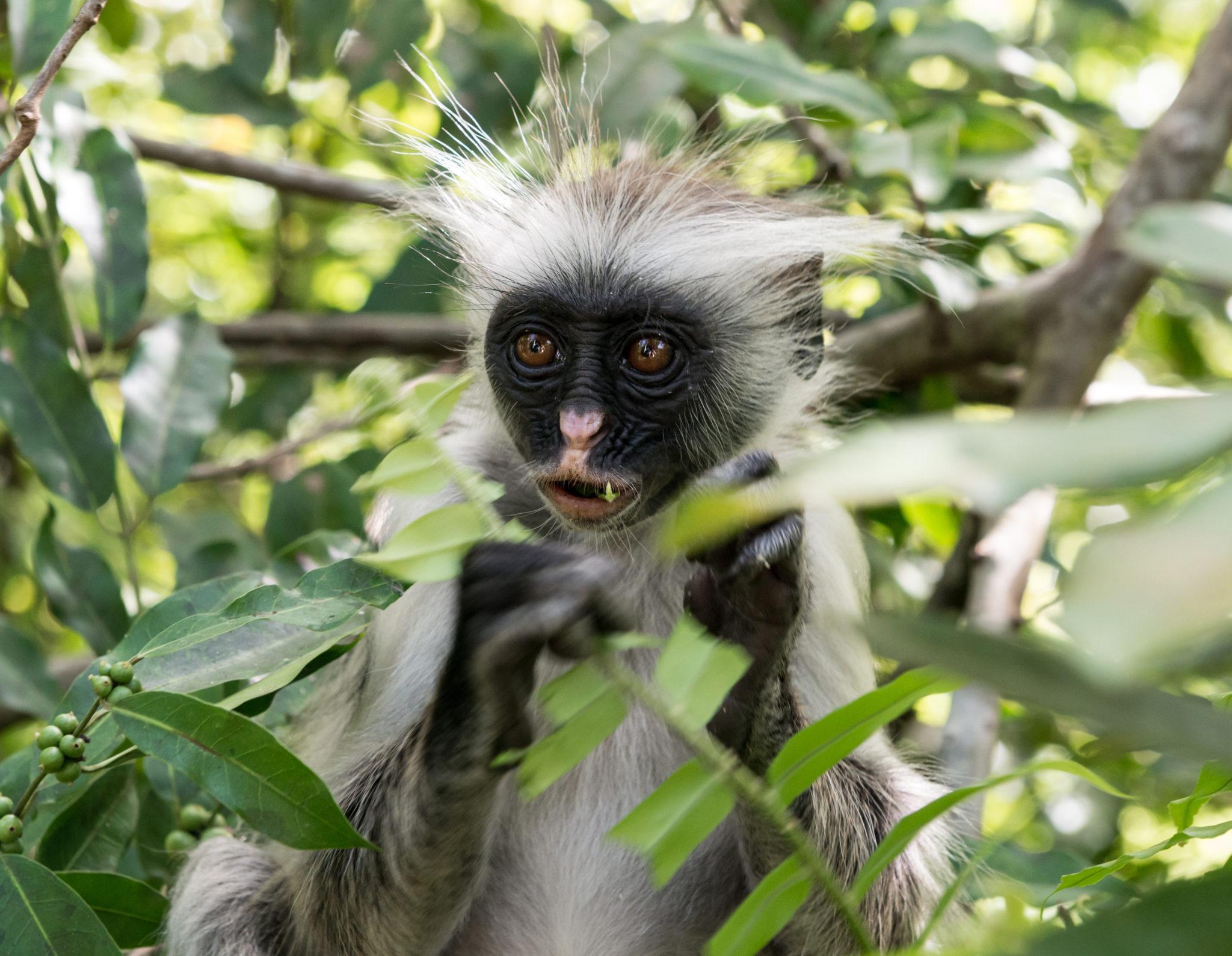 Opice v Jozani Forest