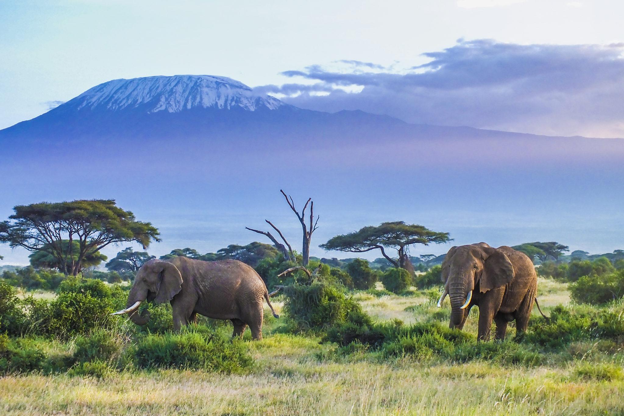 Sloni u Kilimandřára