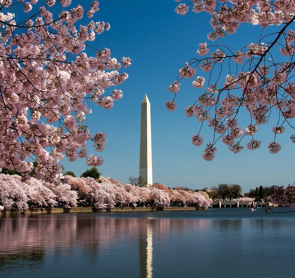 Rozkvetlé třesně kolem Washingtonova monumentu.