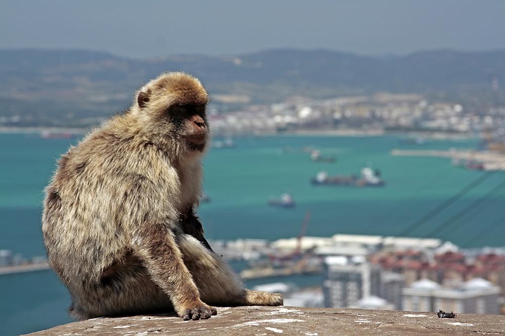 Makak u Gibraltaru.
