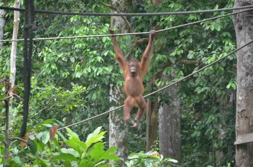 Centrum orangutanu Sepilok