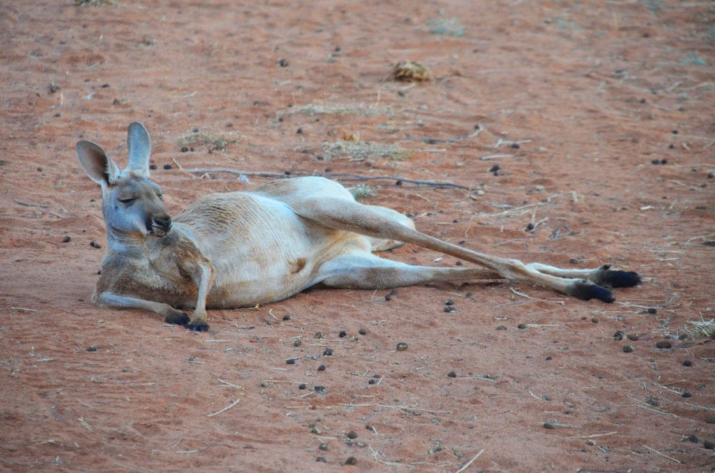 Klokan je hlavním symbolem Austrálie!