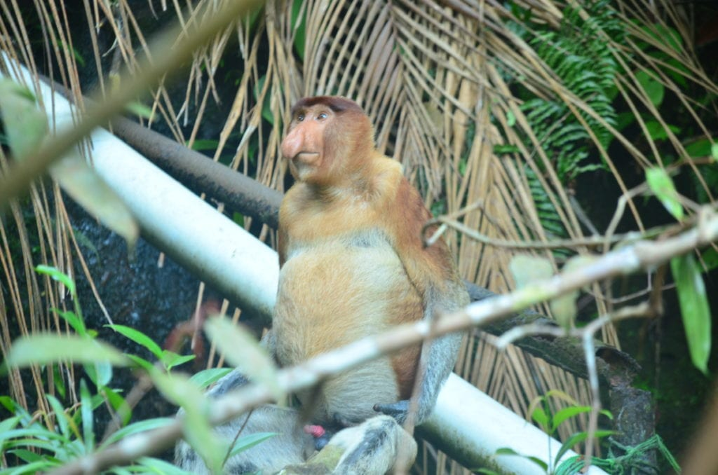 Nosatá opice v národním parku Bako