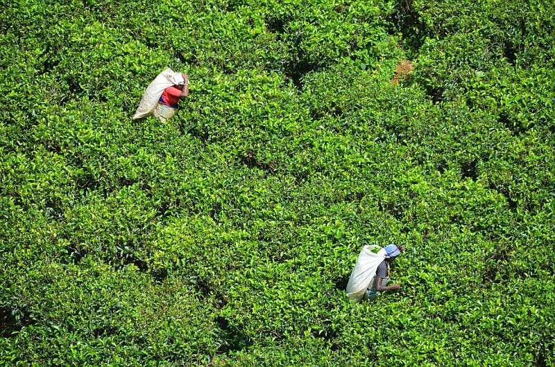 Čajové plantáže v horských oblastech Srí Lanky