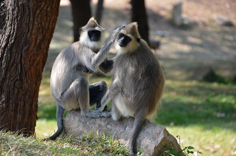 Opice potkáte na Srí Lance na každém kroku