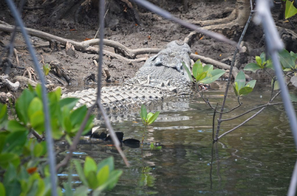 Krokodýl v mokřadech u Port Douglasu