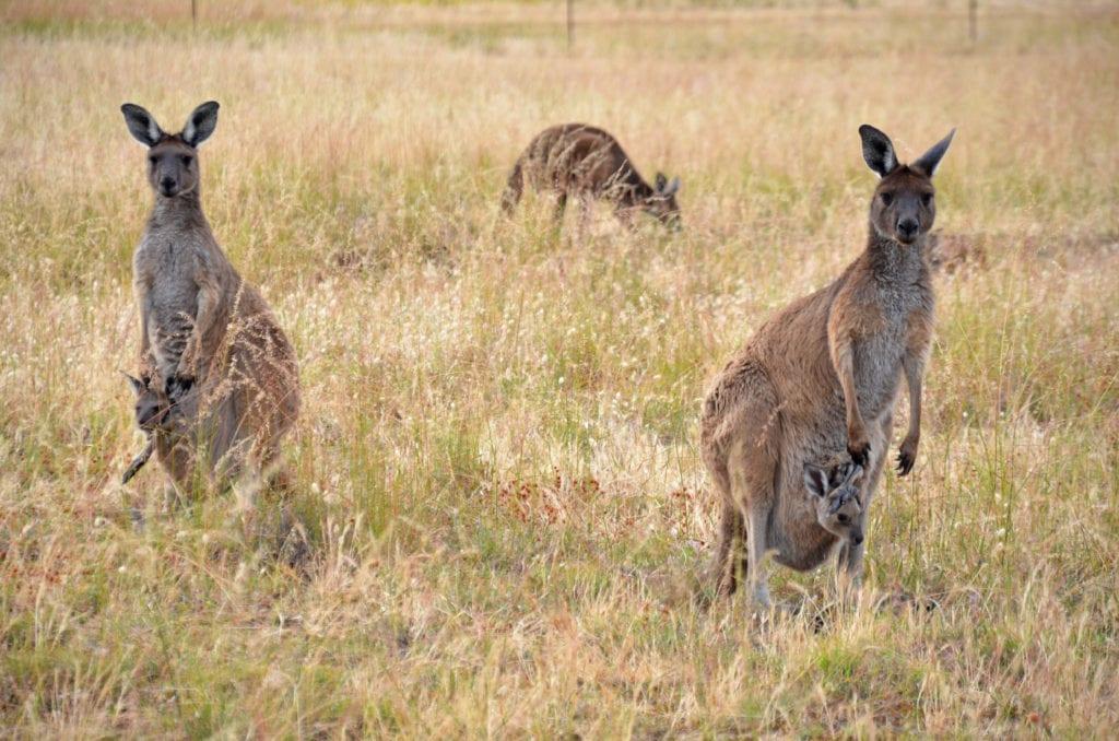 Klokanů je v Austrálii víc než dost. Musíš ale opustit město!