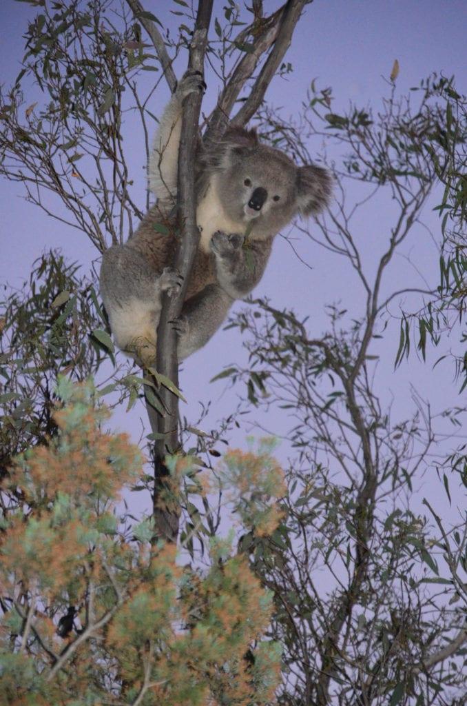 Koala v buši u města Gunnedah