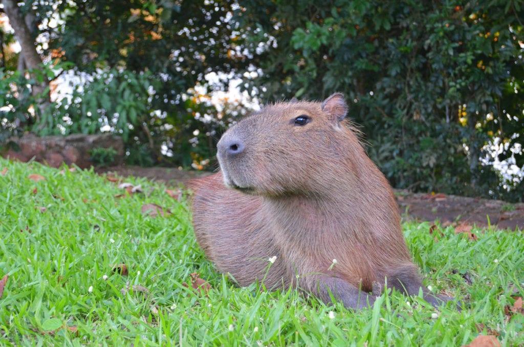 Kapybary a další zvířata ožívají se západem slunce