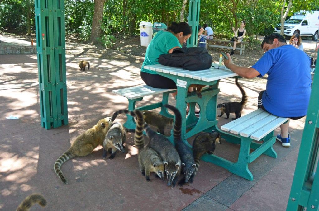 Nosálové útočí na jídlo turistů
