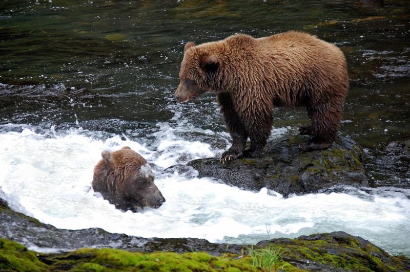 Medvědice loví pro svá mláďata
