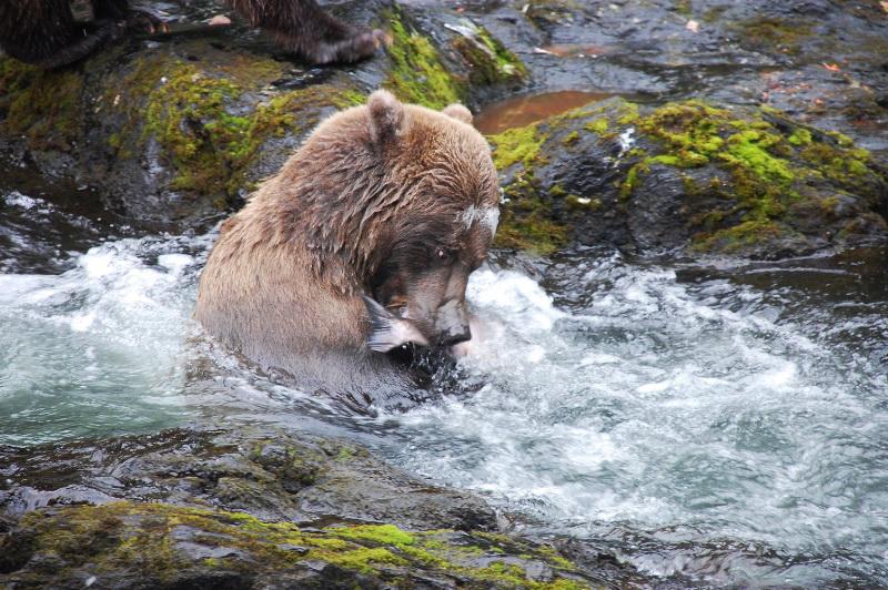 Grizzly nám ukázal, jak se loví lososi