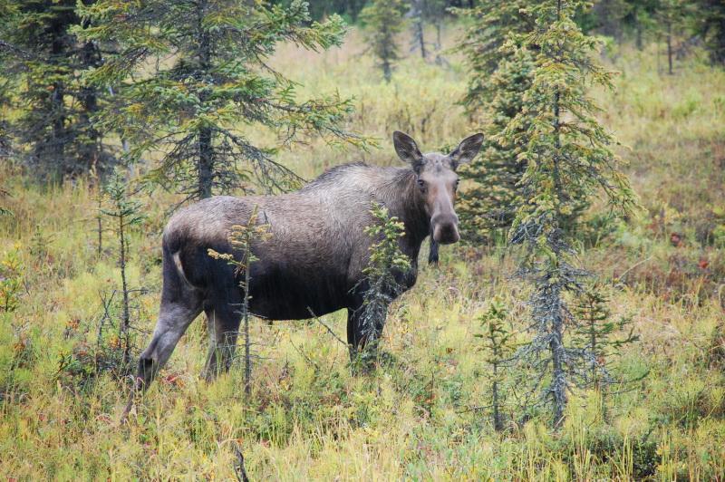 Aljaška je plná divokých zvířat