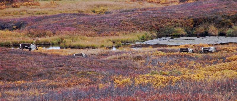 Skupinka sobů v národním parku Denali