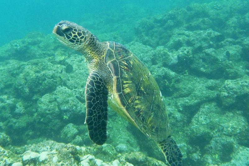 Mořské želvy na Havaji