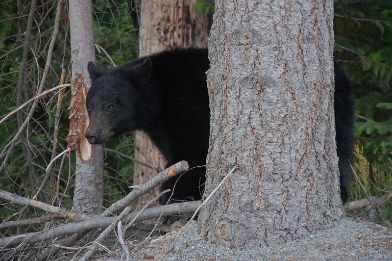 Medvědy jsme ve Whistleru potkávali velmi často