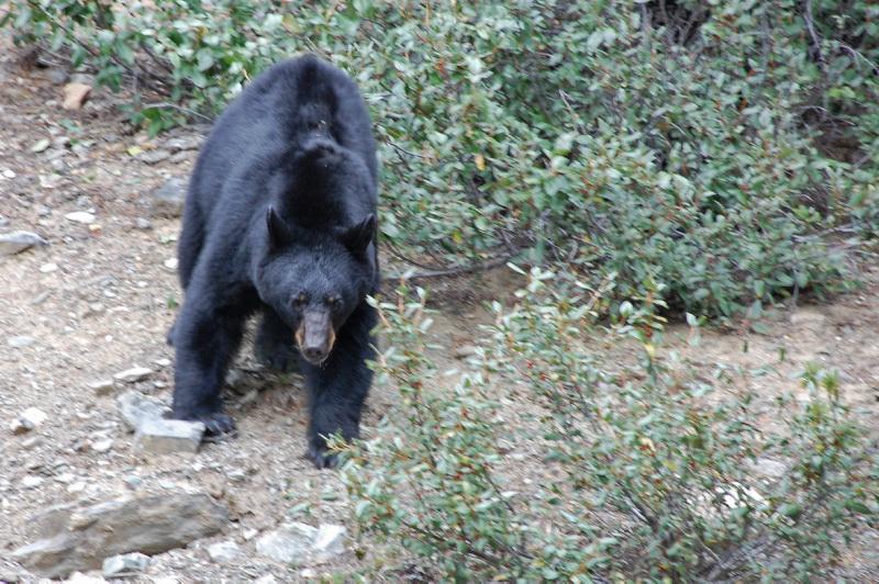 Černý medvěd v Kanadě