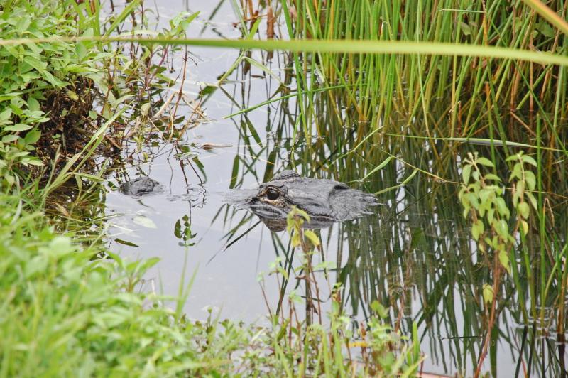 Aligátory často zahlédneš na treku podél cesty, tak pozor!
