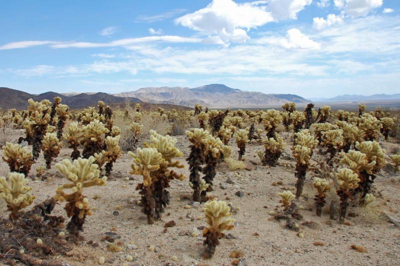 Kaktusové pole v Joshua Tree