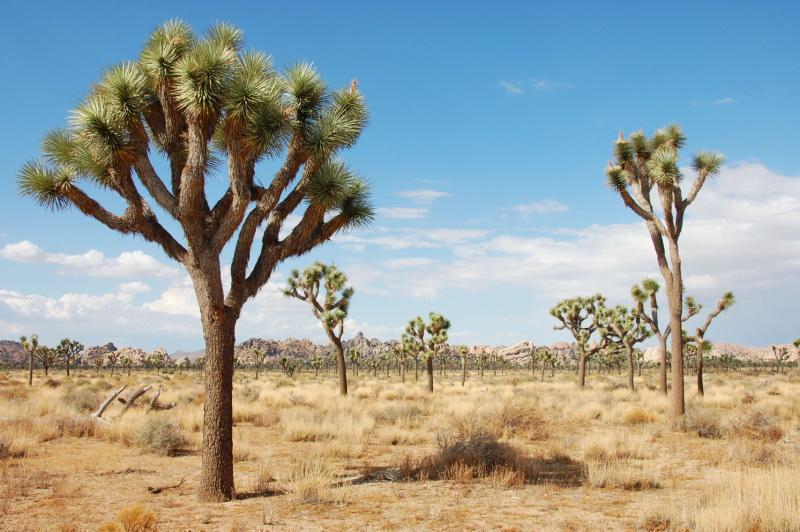 Typické stromy národního parku Joshua Tree