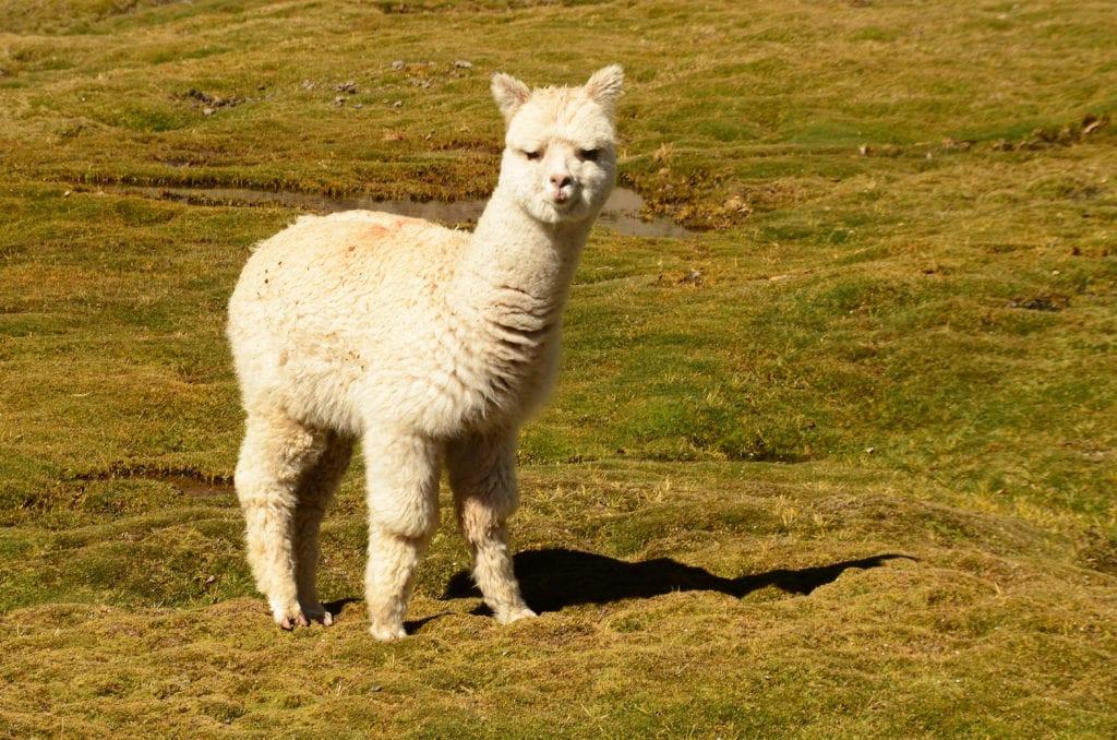 Lama je symbolem Peru