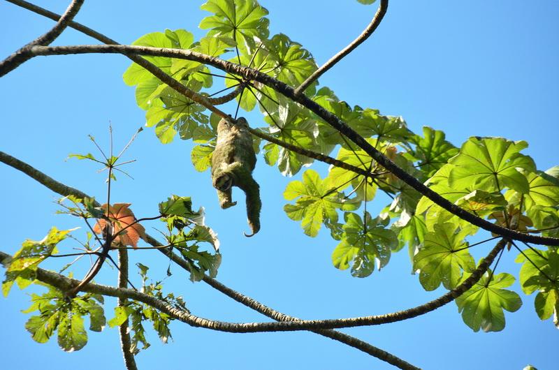 Lenochod v národním parku Manuel Antonio