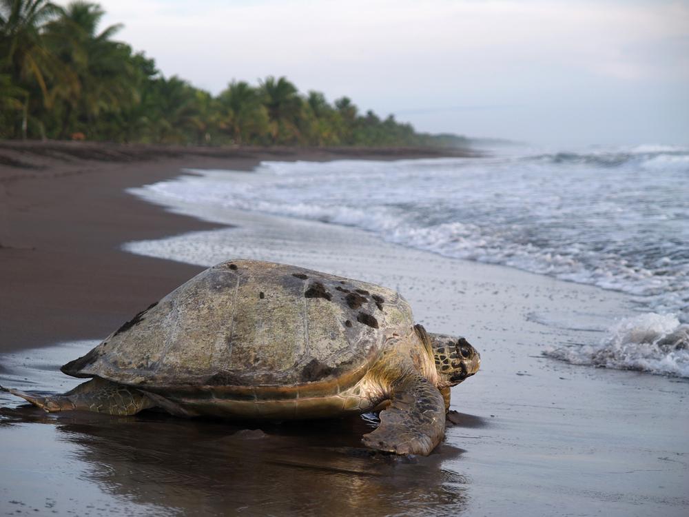 Želva v národním parku Tortuguero