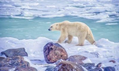 Polární medvěd v Hudsn Bay v Kanadě